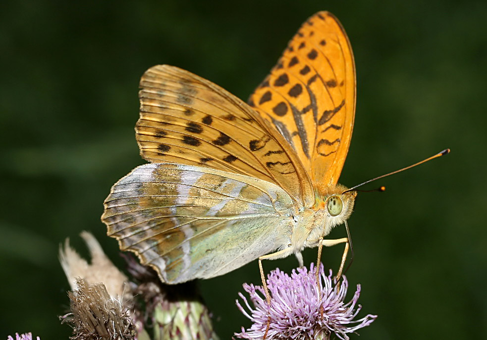 Argynnis paphia - Kaisermantel -  - Nymphalidae - Edelfalter - brush-footed butterflies