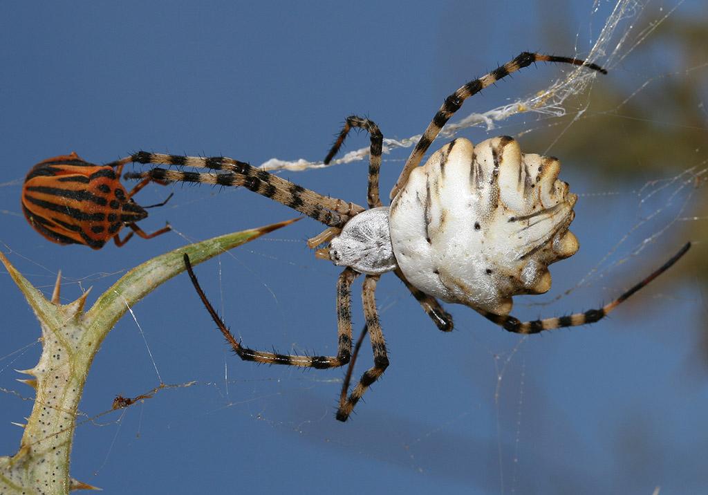 Argyrope lobata - Fam. Araneidae  -  Folegandros - Araneae - Webspinnen - orb-weaver spiders
