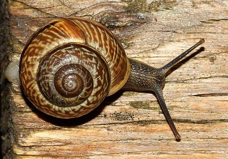 Arianta arbustorum - Baum-Schnirkelschnecke - Fam. Helicidae - Schnirkelschencken - Stylommatophora - Landlungenschnecken - snails, slugs