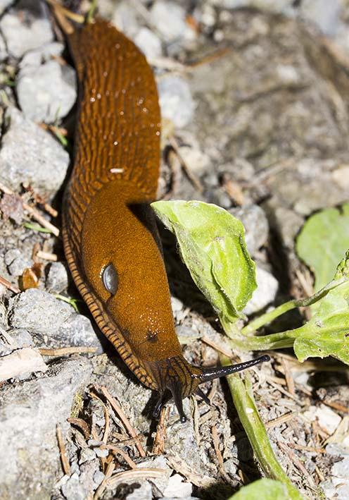 Arion rufus - Braune Wegschnecke - Fam. Arionidae - Wegschnecken - Stylommatophora - Landlungenschnecken - snails, slugs