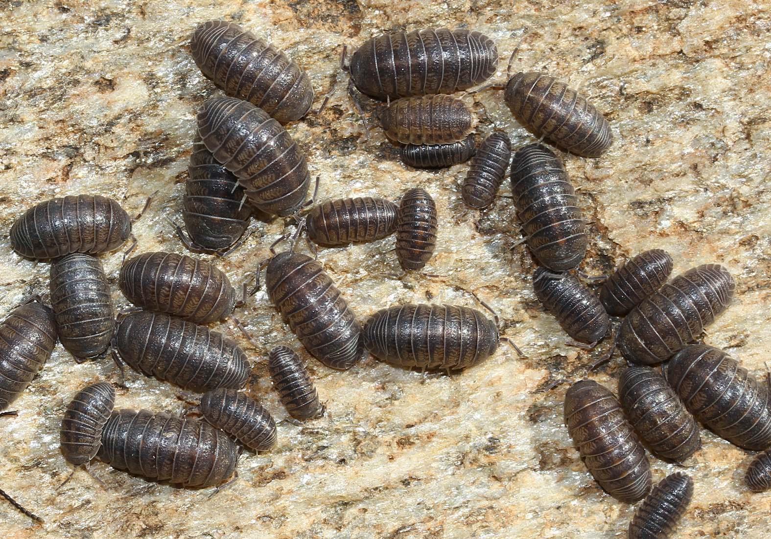 Armadillidium insulare -  - Isopoda - Asseln - woodlice