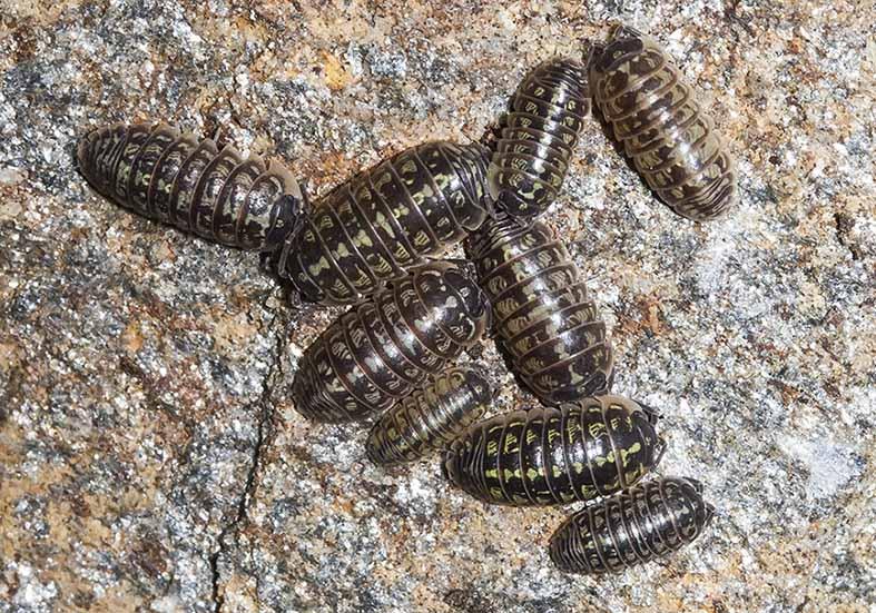 Armadillidium versicolor -  - Isopoda - Asseln - woodlice