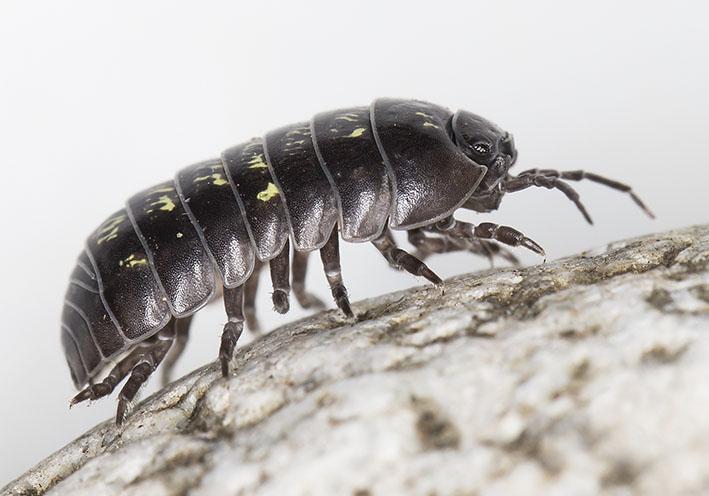 Armadillidium vulgare  - Gemeine Rollassel -  - Isopoda - Asseln - woodlice