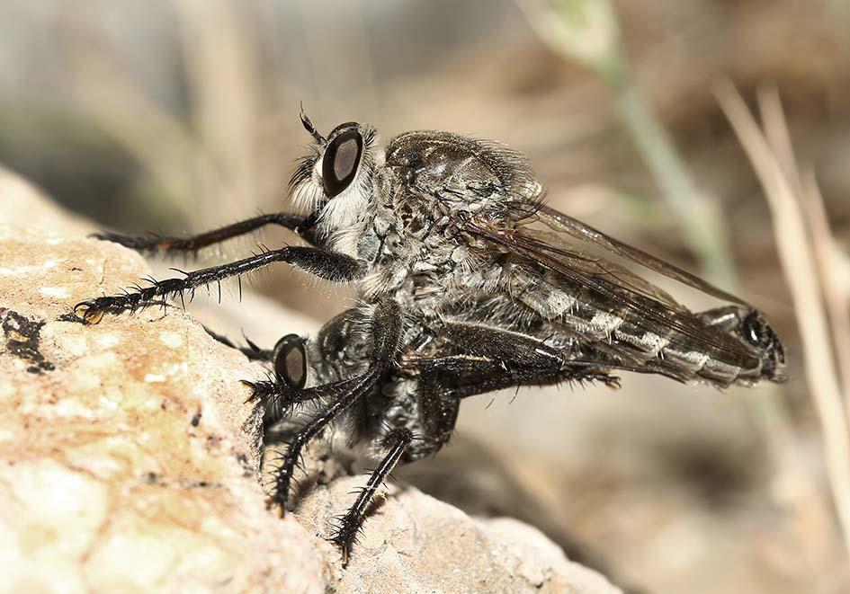 Asilidae - Raubfliege - Samos - Diptera - Fliegen