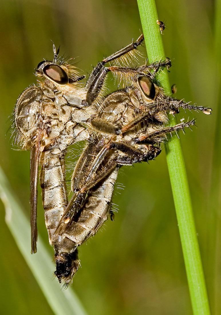 Fam. Asilidae - Raubfliegen -  - Brachycera (Fiegenartige) - Orthorrhapha
