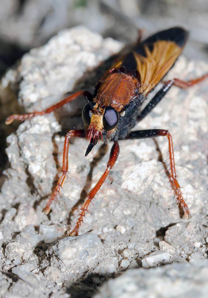 Asilus barbarus - Sardinien - Diptera - Fliegen