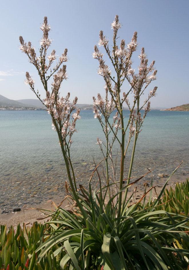 Asphodelus ramosus -Kleinfrüchtiger Affodil -  - Gras- und Felsfluren - grassy and  rocky terrains