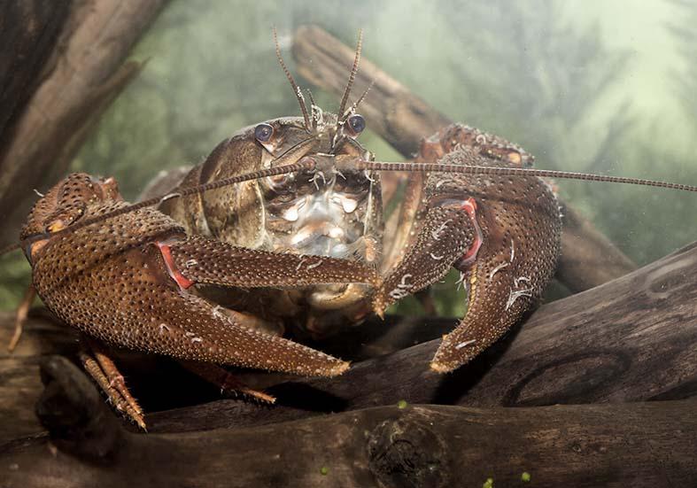 Astacus astacus - Edelkrebs -  - Aquatische Krebstiere - aquatic crustacea