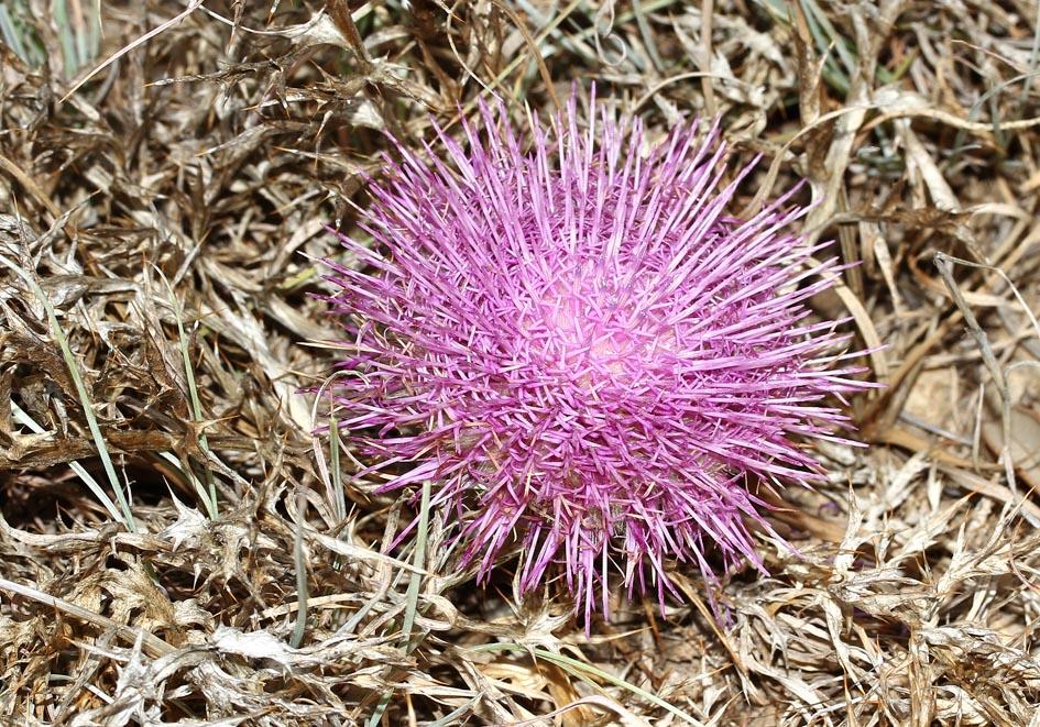 Atractylis gummifera -  Mastixdistel - pine thistle -  - Gras- und Felsfluren - grassy and  rocky terrains