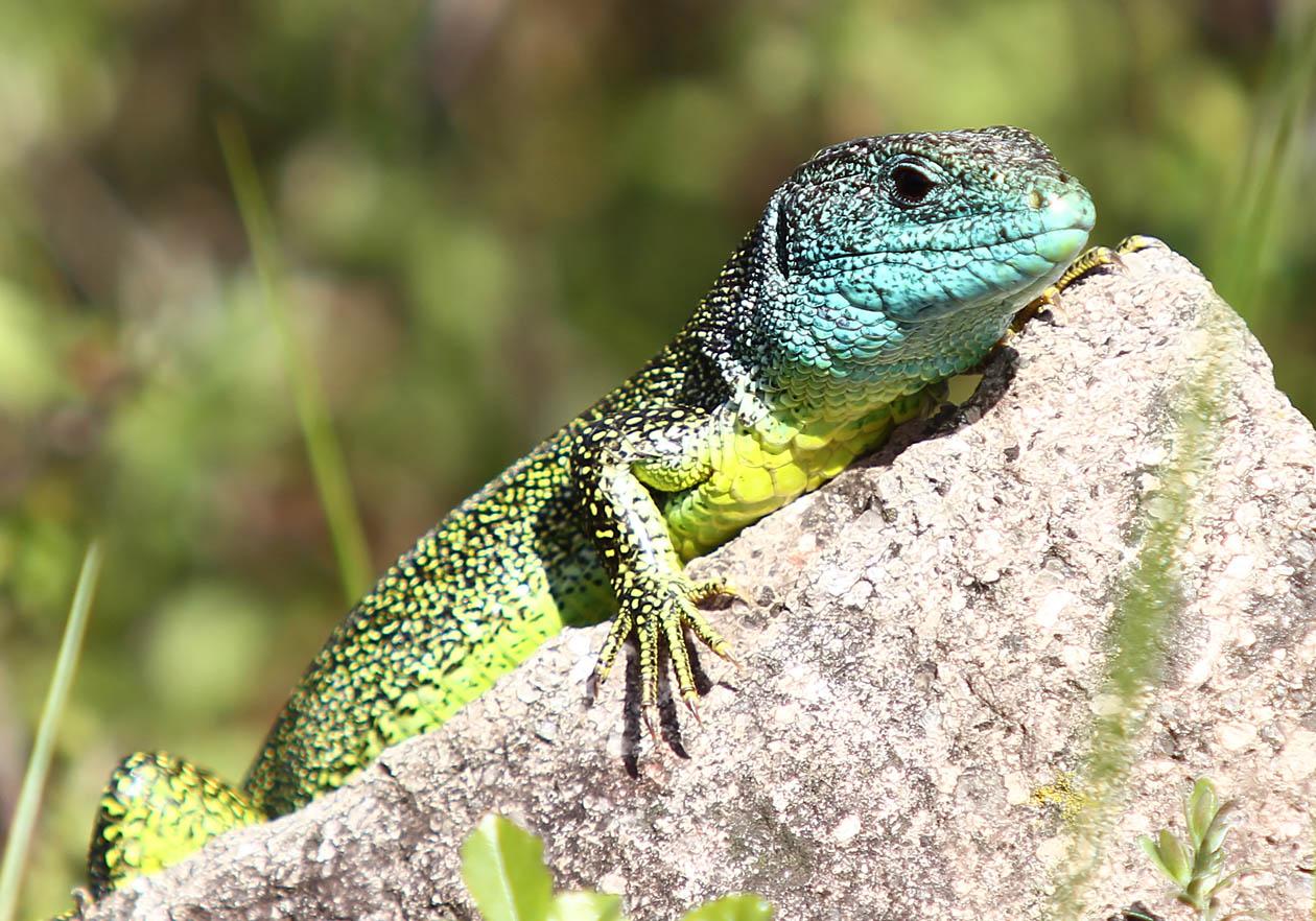 Lacerta bilineata - Westliche Smaragdeidechse - Auer - Südtirol - Lacertilia - Echsen - lizards