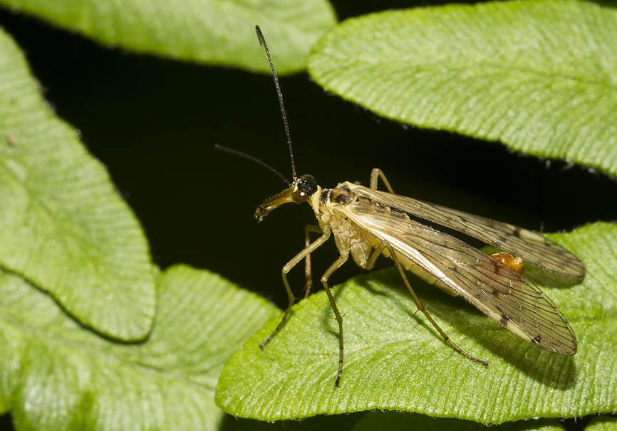 Aulops alpina -  - Mecoptera - Schnabelfliegen - scorpionflies