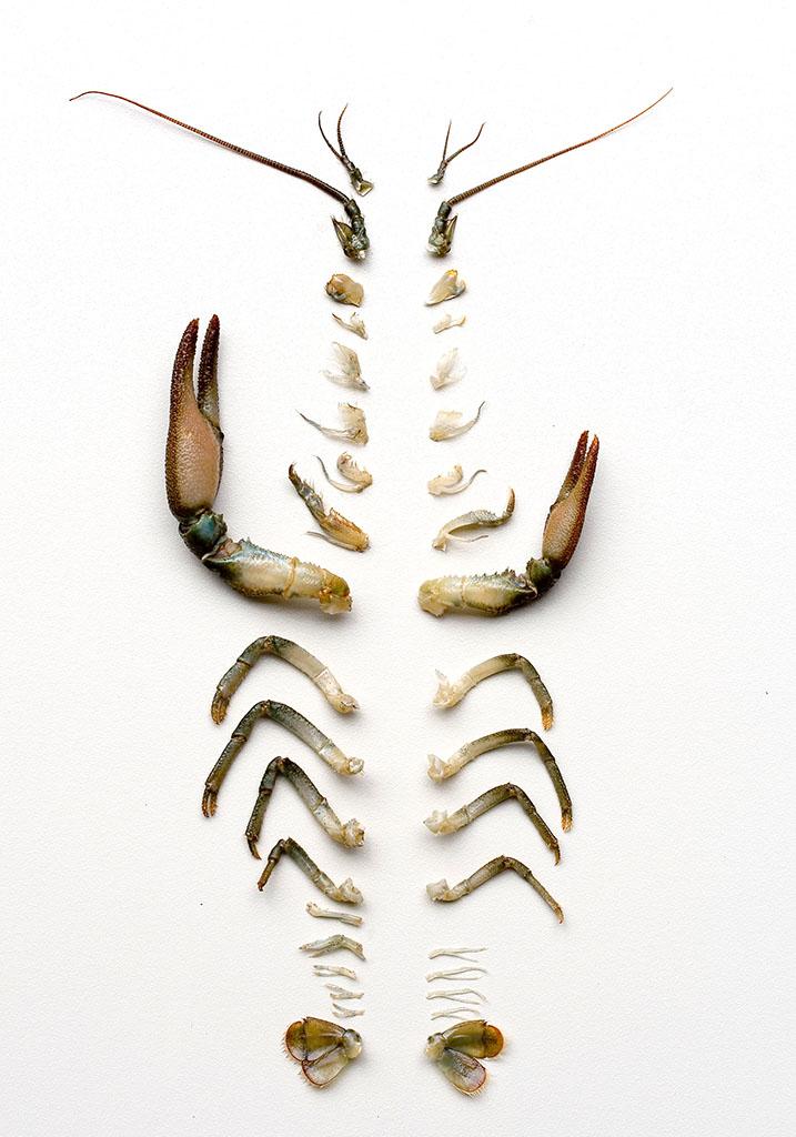 Austropotamobius pallipes  Dohlenkrebs  - Extremitäten - Aquatische Krebstiere - aquatic crustacea