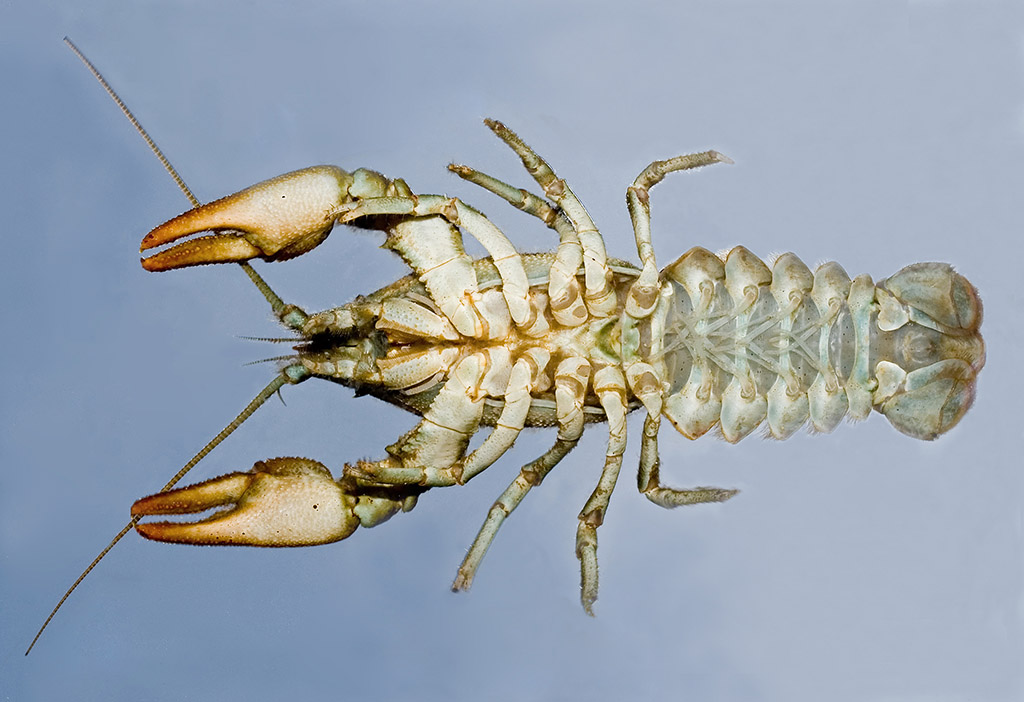 Austropotamobius pallipes   Dohlenkrebs - Unterseite - Aquatische Krebstiere - aquatic crustacea