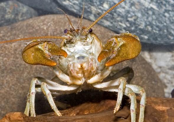 Austropotamobius pallipes - Dohlenkrebs -  - Aquatische Krebstiere - aquatic crustacea