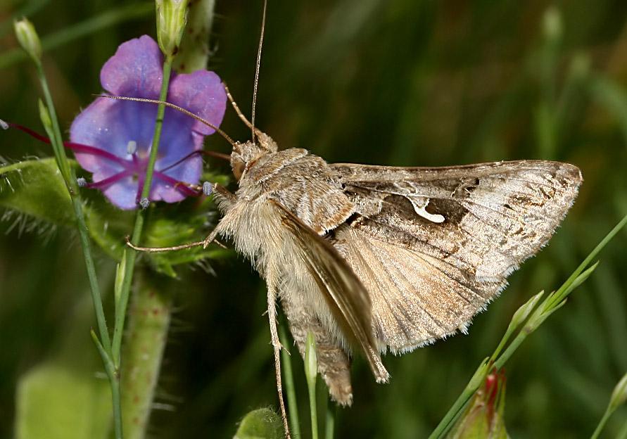 Autographa gamma - Gammaeule -  - Noctuidae - Eulen - owlet moths
