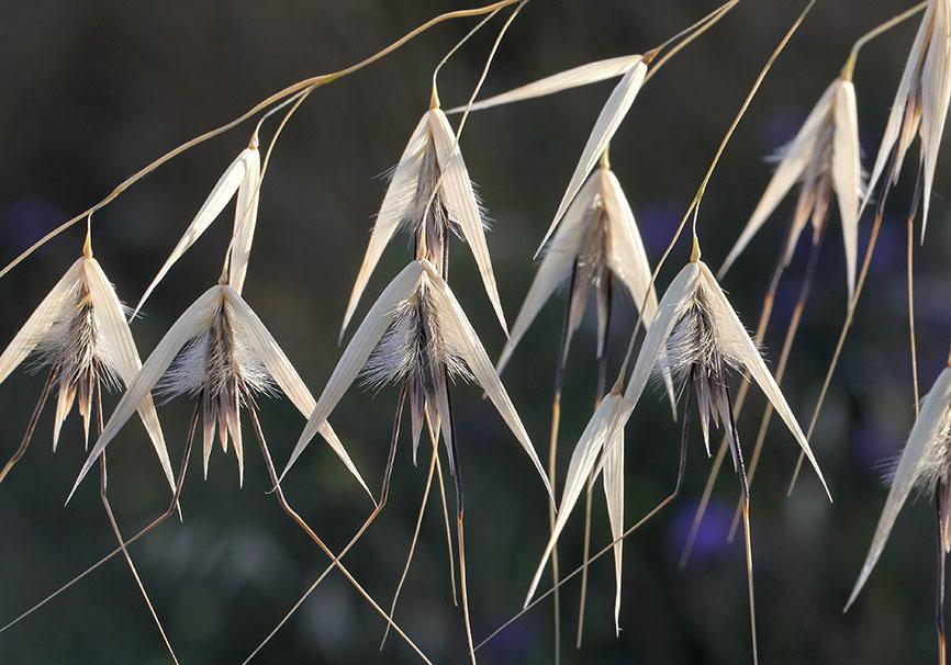 Avena barbata - Barthafer -  - Gräser - grasses