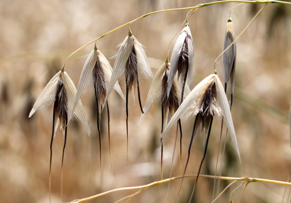 Avena barbata - Barthafer -  - Ruderal vegetation