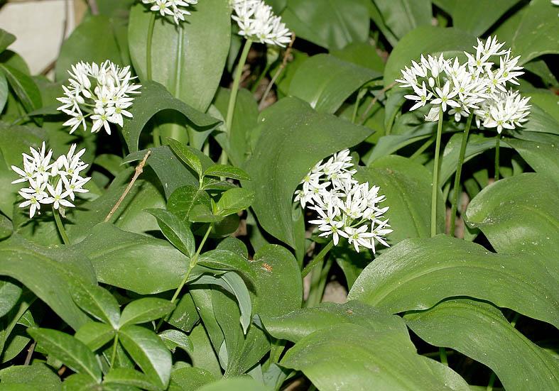 Allium ursinum - Bärlauch  - Fam. Liliaceae - Wald - forest