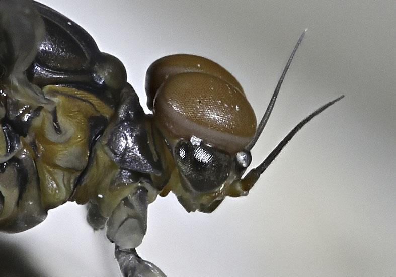 Baetis sp. Subimago -  - Ephemeroptera - Eintagsfliegen - mayflies
