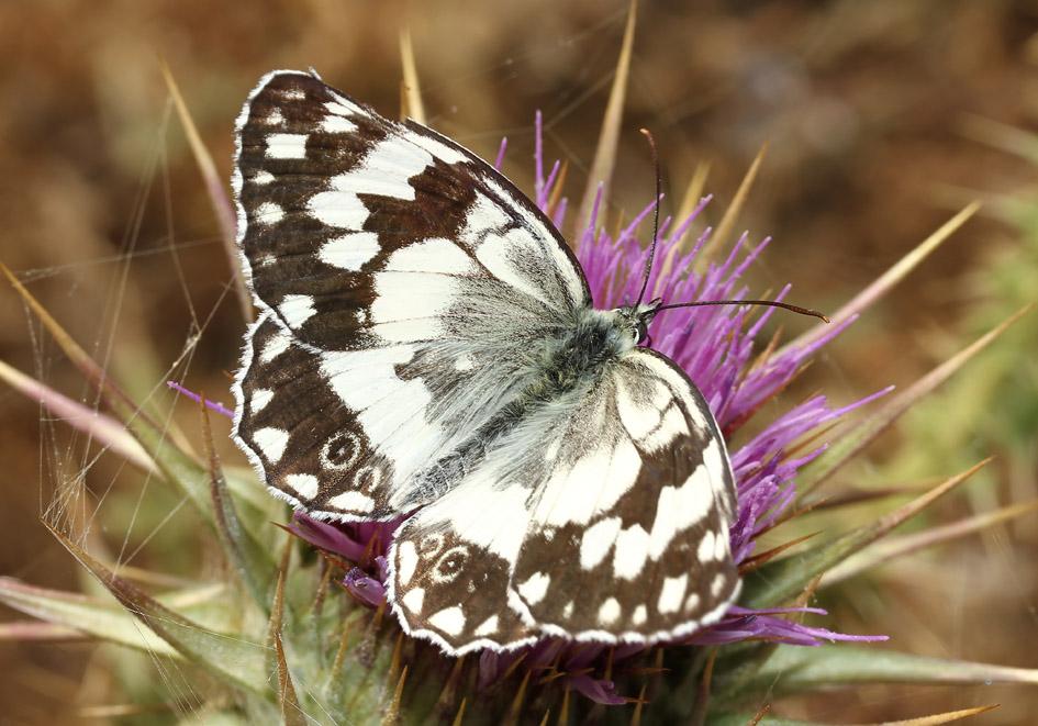 Melanargia larissa - Balkan-Schachbrett - Serifos - Nymphalidae - Edelfalter - brush-footed butterflies