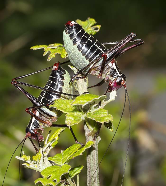 Barbitistes oskayi male -  Dunkle-Säbelschrecke - Kroatien - Ensifera - Phaneropteridae - Sichelschrecken -