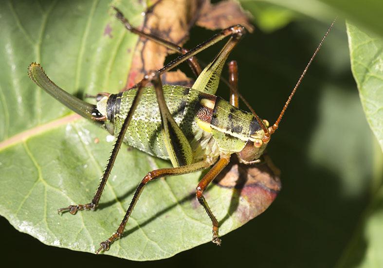 Barbitistes yersini female - Graugrüne Säbelschrecke - Kroatien - Ensifera - Phaneropteridae - Sichelschrecken -
