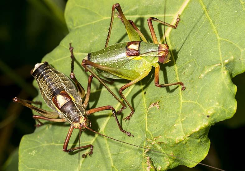Barbitistes yersini male - Graugrüne Säbelschrecke - Kroatien - Ensifera - Phaneropteridae - Sichelschrecken -