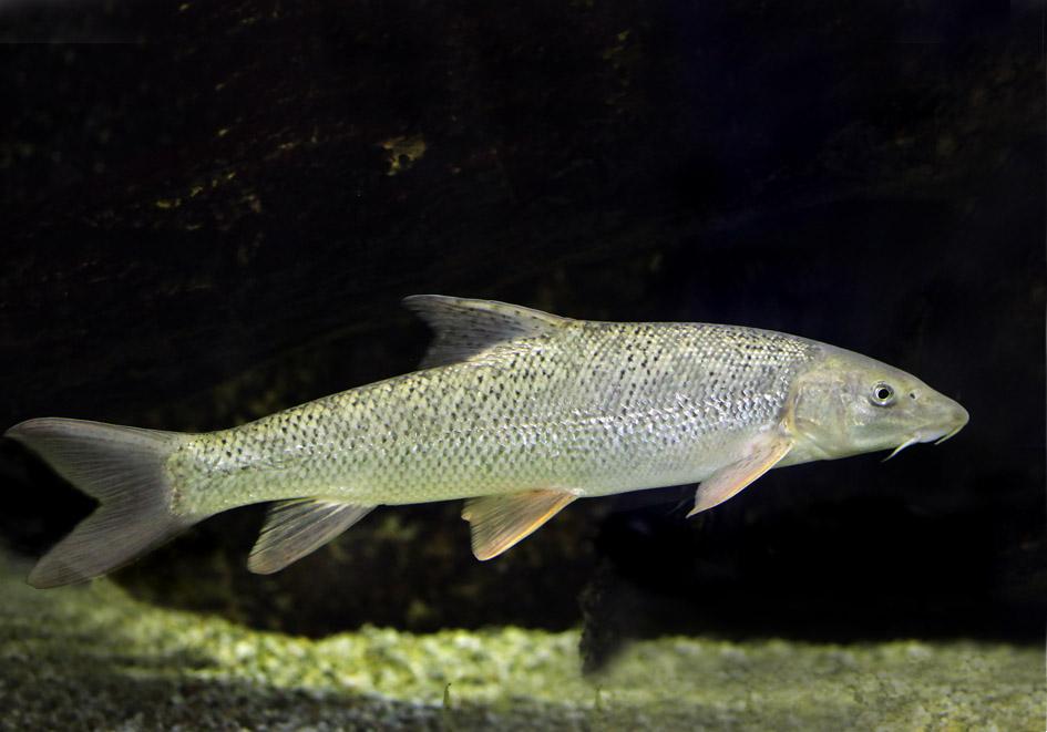 Barbus barbus - Barbe - Alpenzoo - Cypriniformes - Karpfenartige