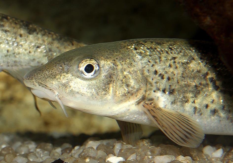 Barbus meridionalis - Hundsbarbe - Alpenzoo - Cypriniformes - Karpfenartige