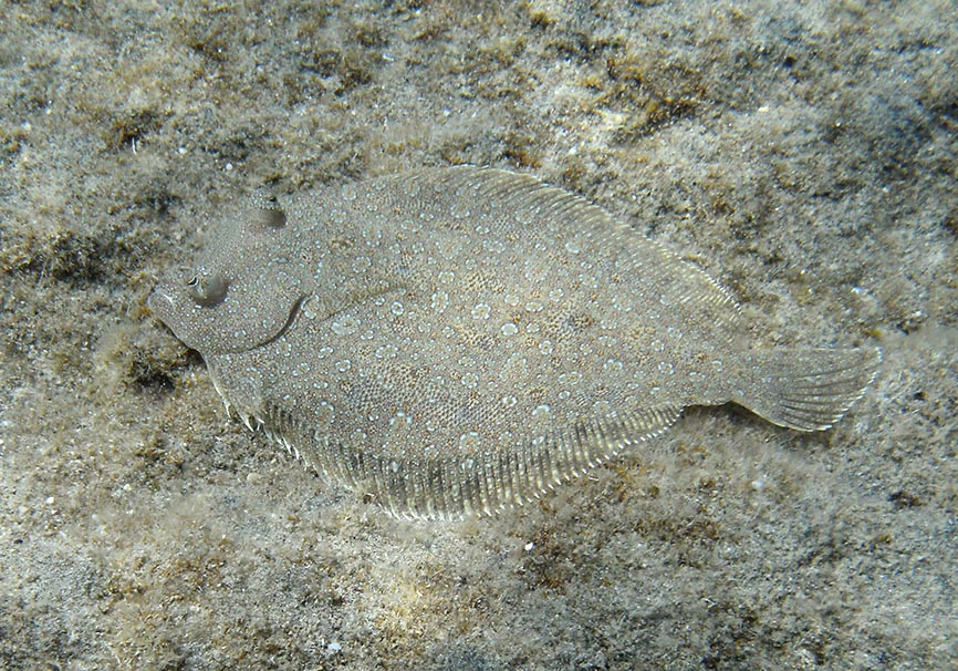 Bothus podas - Weitäugiger Butt -  - Pisces - Fische - fish