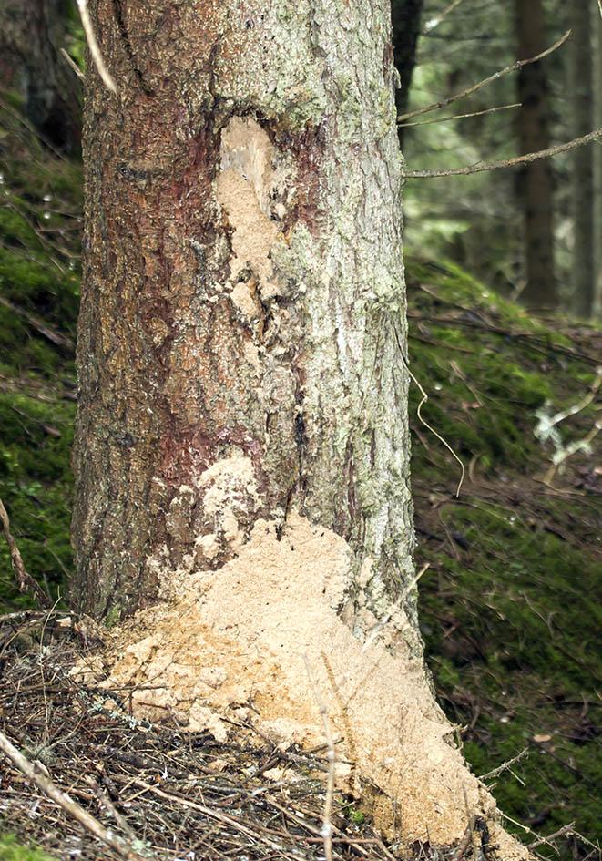 Baum mit Camponotus herculeanus  - Schwarze Rossameise -  - Formicidae - Ameisen - ants