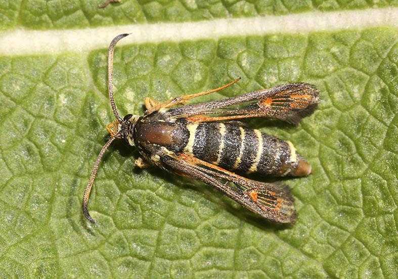 Bembecia ichneumoniformes - Hornklee-Glasflügler - Fam. Sesiidae - Glasflügler -