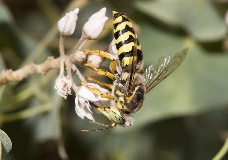 Bembix bidentata Kreiselwespe - Kos - Sphecidae - Grabwespen - thread-waisted wasps