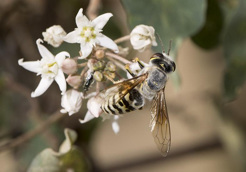 Bembix oculata - Bembix oculata - Kreiselwespe - Kos - Sphecidae - Grabwespen - thread-waisted wasps