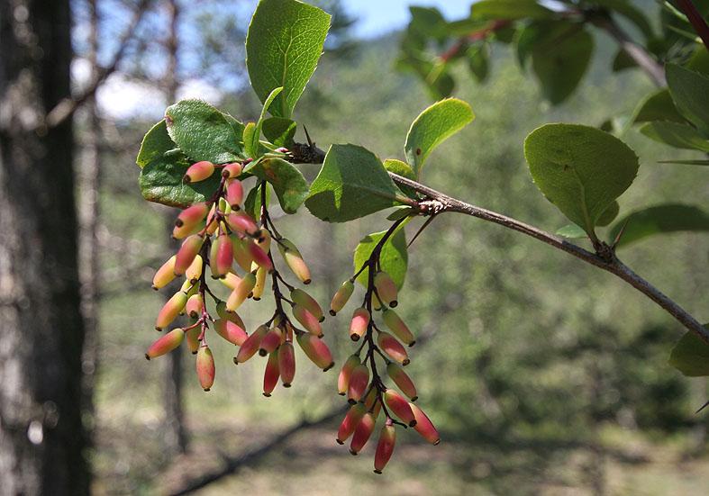 Berberis vulgaris - Berberitze  - Fam. Berberidaceae - Wald - forest