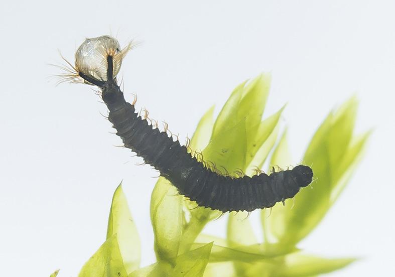 Berdeniella helvetica-Gr - Fam. Psychodidae - Schmetterlingsmücken - aquatische Dipteren-Larven
