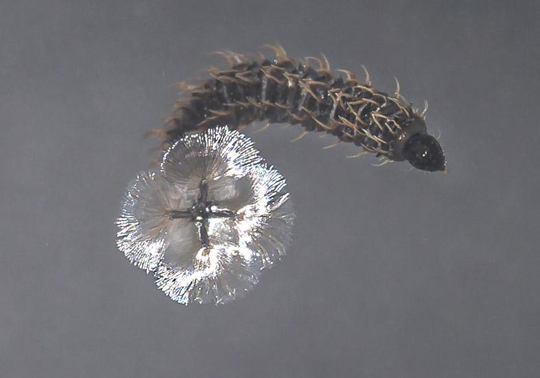 Berdeniella helvetica - Fam. Psychodidae - Schmetterlingsmücken - aquatische Dipteren-Larven