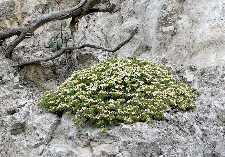 Teucrium montanum - Berg-Gamander  - Fam. Laminaceae - Fels - rocks
