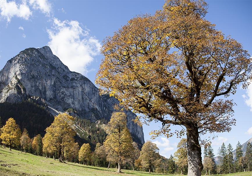 Acer pseudoplatanus - Bergahorn -  - Bergwald/Waldgrenze - mountain forest/timberline