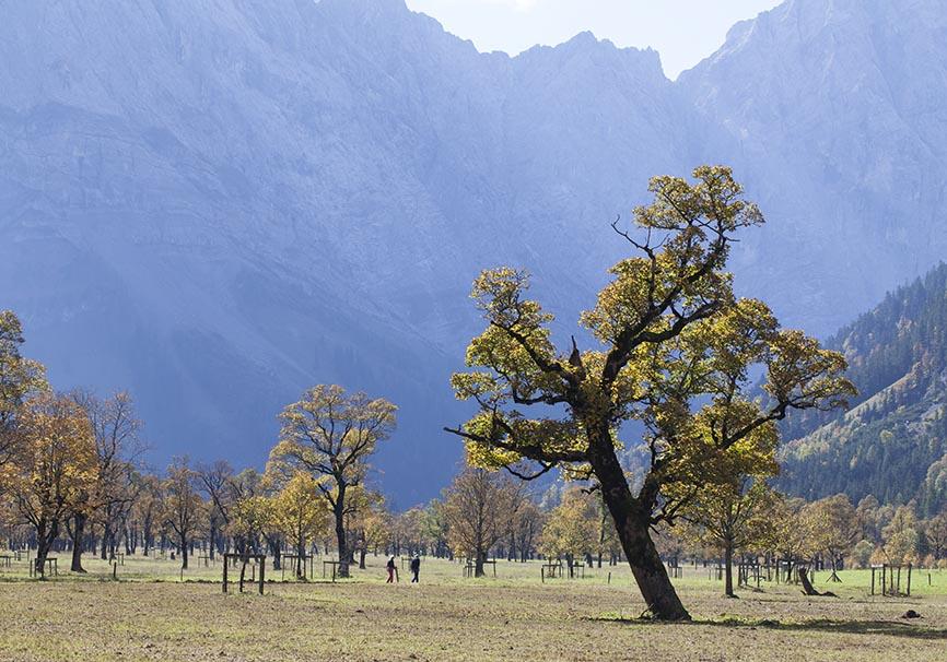 Acer pseudoplatanus - Bergahorn - Ahornboden - Bergwald/Waldgrenze - mountain forest/timberline