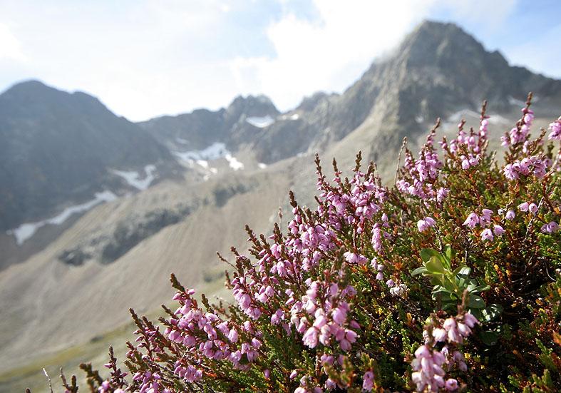 Calluna vulgaris - Besenheide  - Fam. Ericaceae - Zwergstrauchheide - dwarf-shrub