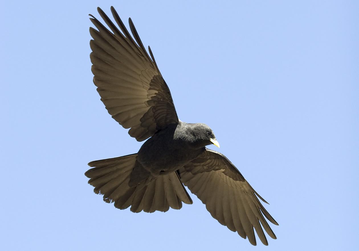 Pyrrhocorax graculus - Alpendohle - Alpine chough -  - Corvidae - Rabenvögel - corvids