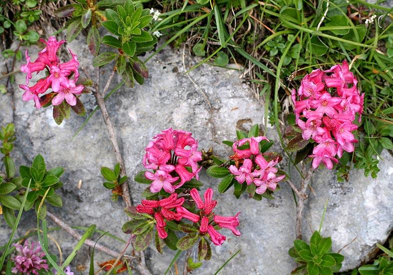 Rhododendron hirsutum - Bewimperte Alpenrose - Fam. Ericaceae - Bergwald/Waldgrenze - mountain forest/timberline