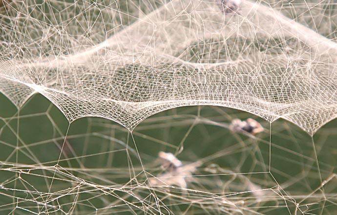 Netz der Opuntienspinne - Cyrtophora citricola -  - Spinnennetze - Orb webs