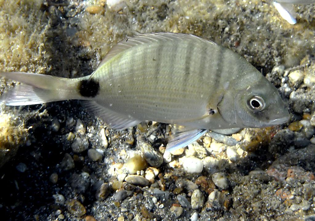 Diplodus sargus - Geißbrasse -  - Pisces - Fische - fish