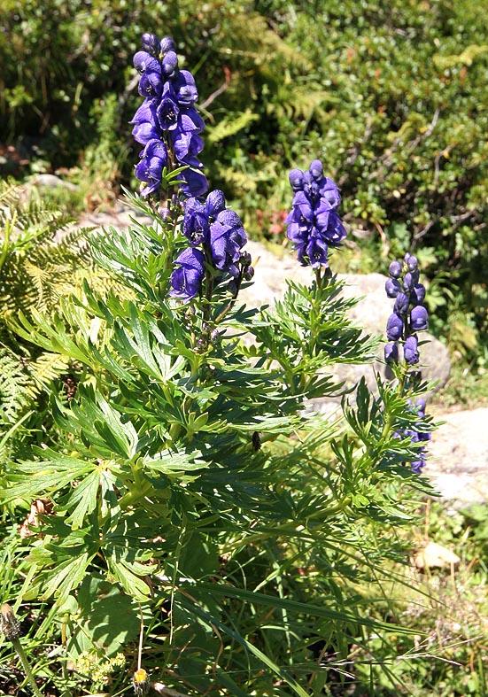 Aconitum napellus - Blauer Eisenhut - Fam. Ranunculaceae - Hochstaudenfuren