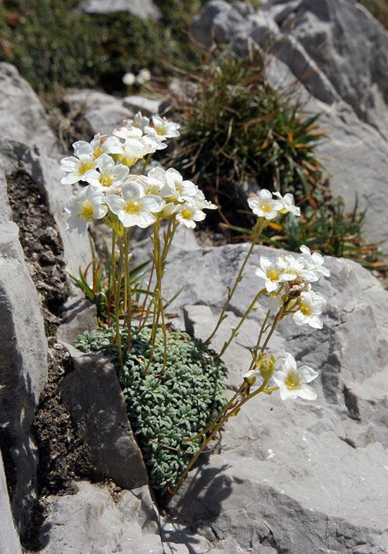 Saxifraga caesia - Blaugrüner Steinbrech - Fam. Saxifragaceae - Felsspalten - rock crevices