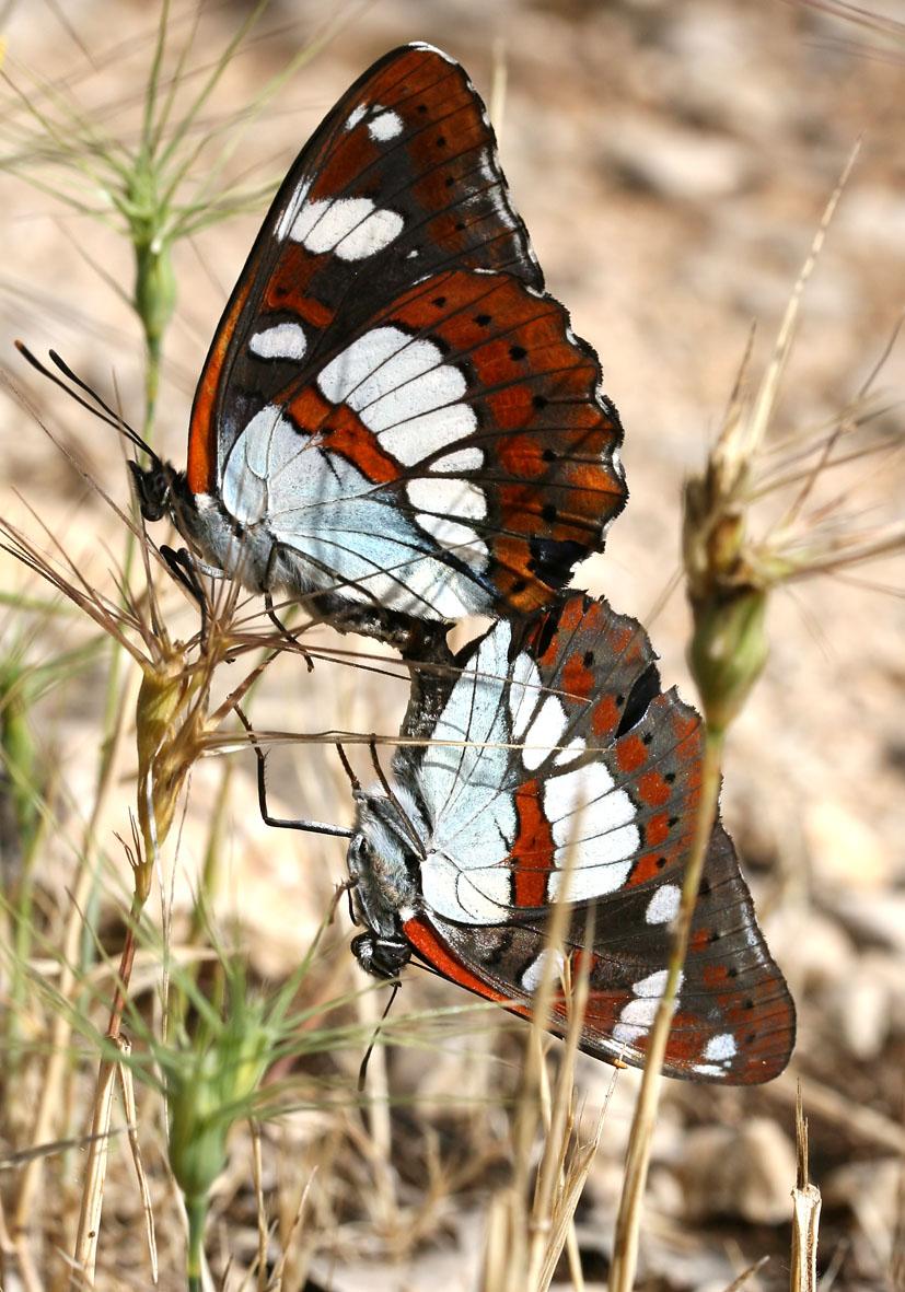 Limenitis reducta - Blauschwarzer Eisvogel - Kroatien - Nymphalidae - Edelfalter - brush-footed butterflies