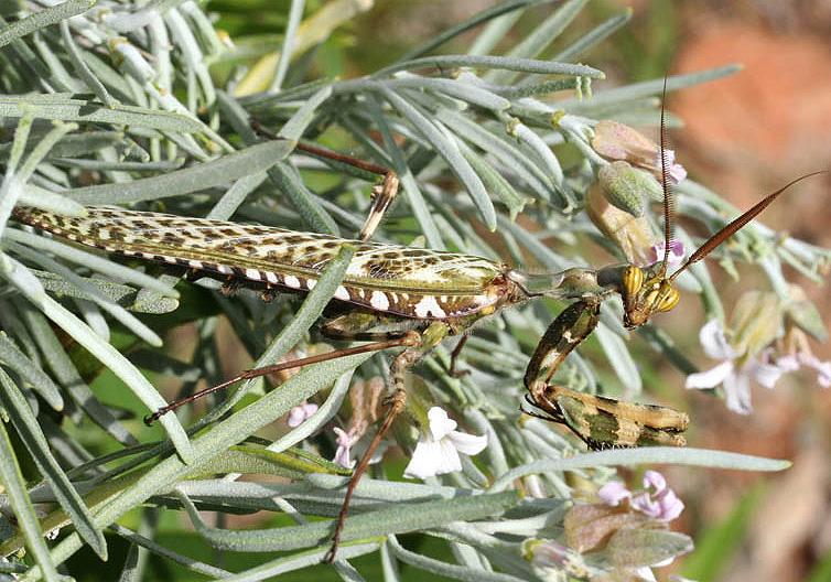 Blepharopsis mendica - Gran Canaria - Mantodea - Fangschrecken - praying mantises