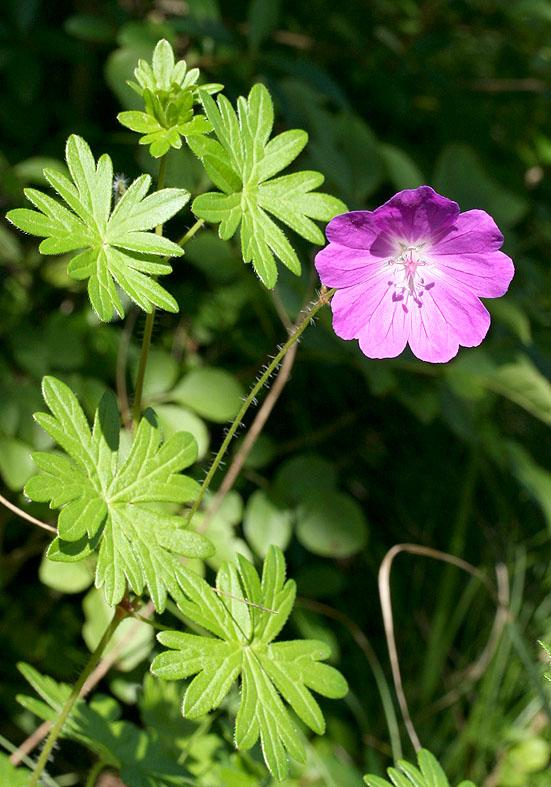 Geranium sanguineum - Blutroter Storchschnabel - Fam. Geraniaceae - Trockenrasen - dry grasslands